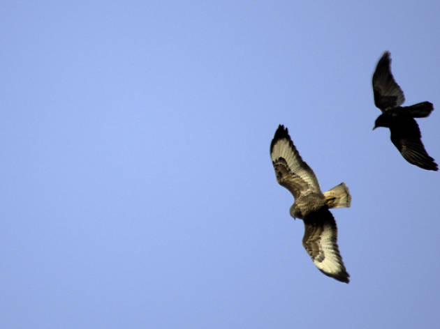 buzzard and crow