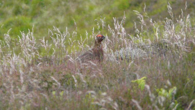 red grouse pentlands