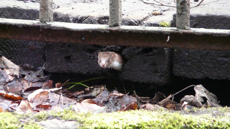weasel bridge