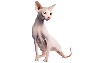 Los gatos sphynx están cubiertos por vello muy fino