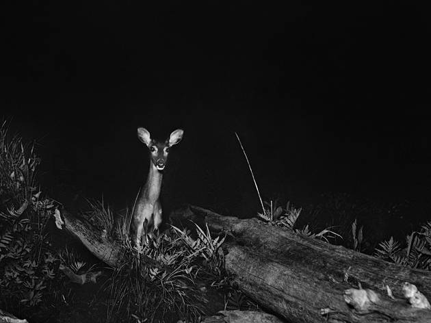 L'intérieur de la nuit (George Shiras, Biche de Virginie, Whitefish River, Michigan, vers 1893-1898 © National Geographic Creative Archives)