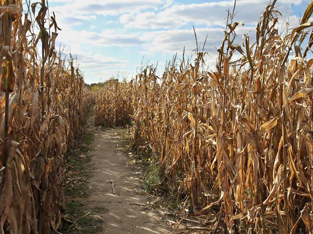 County Line Orcahrd Corn Maze