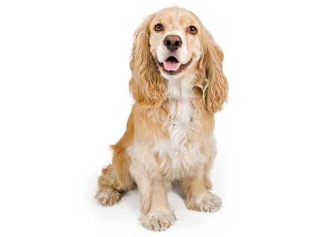 Los perros cocker spaniel tienen personalidad amigable y alma cazadora