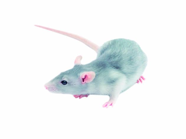 rata ratolí