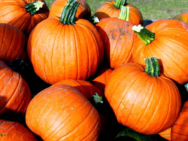 Pumpkins at a pick your own farm