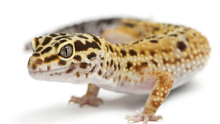 Son reptiles muy longevos