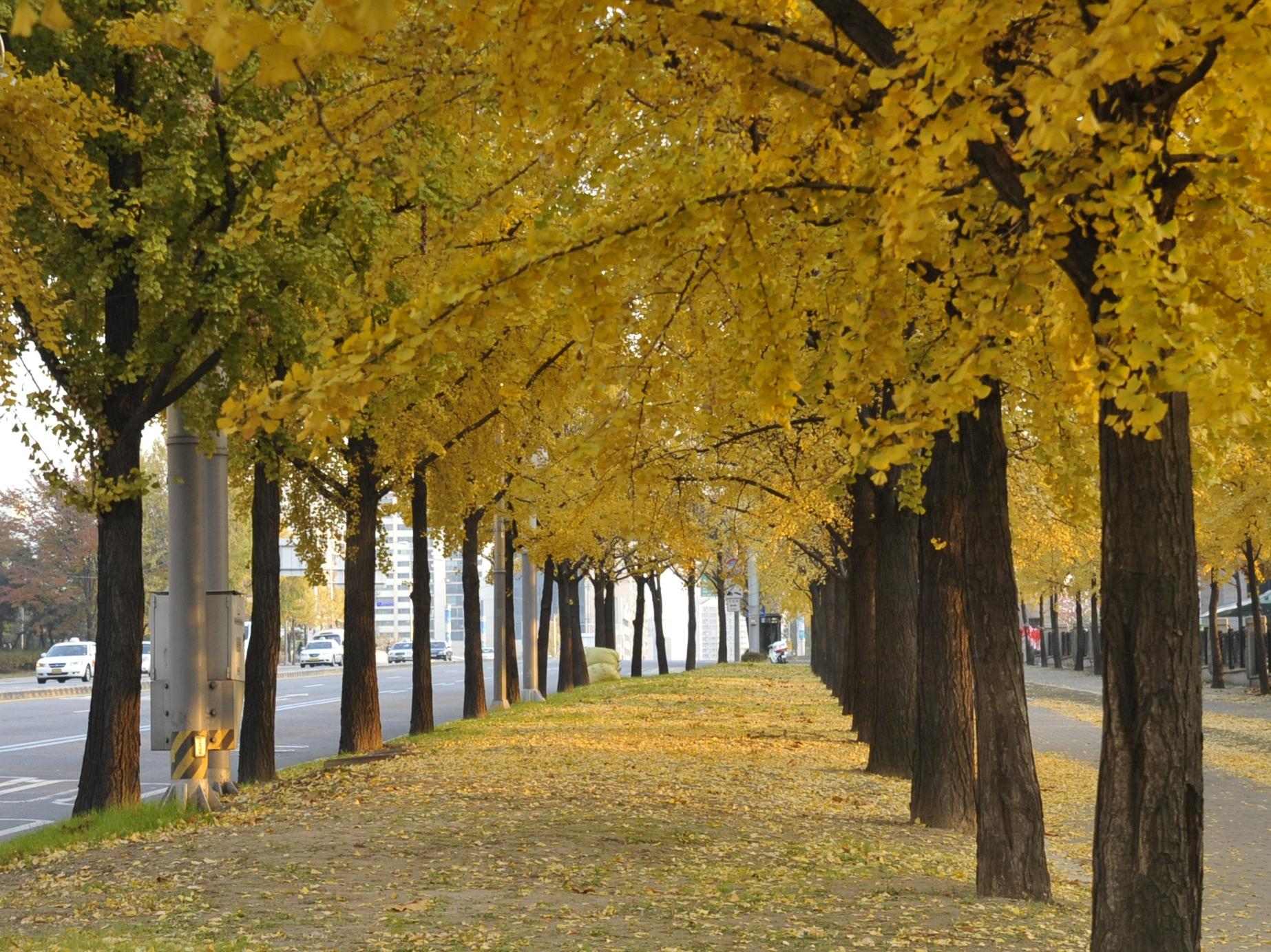 노란 은행나무가 찬란한 위례성길