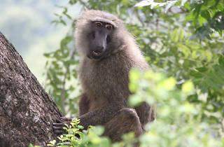Monket in Mole National Park, Ghana