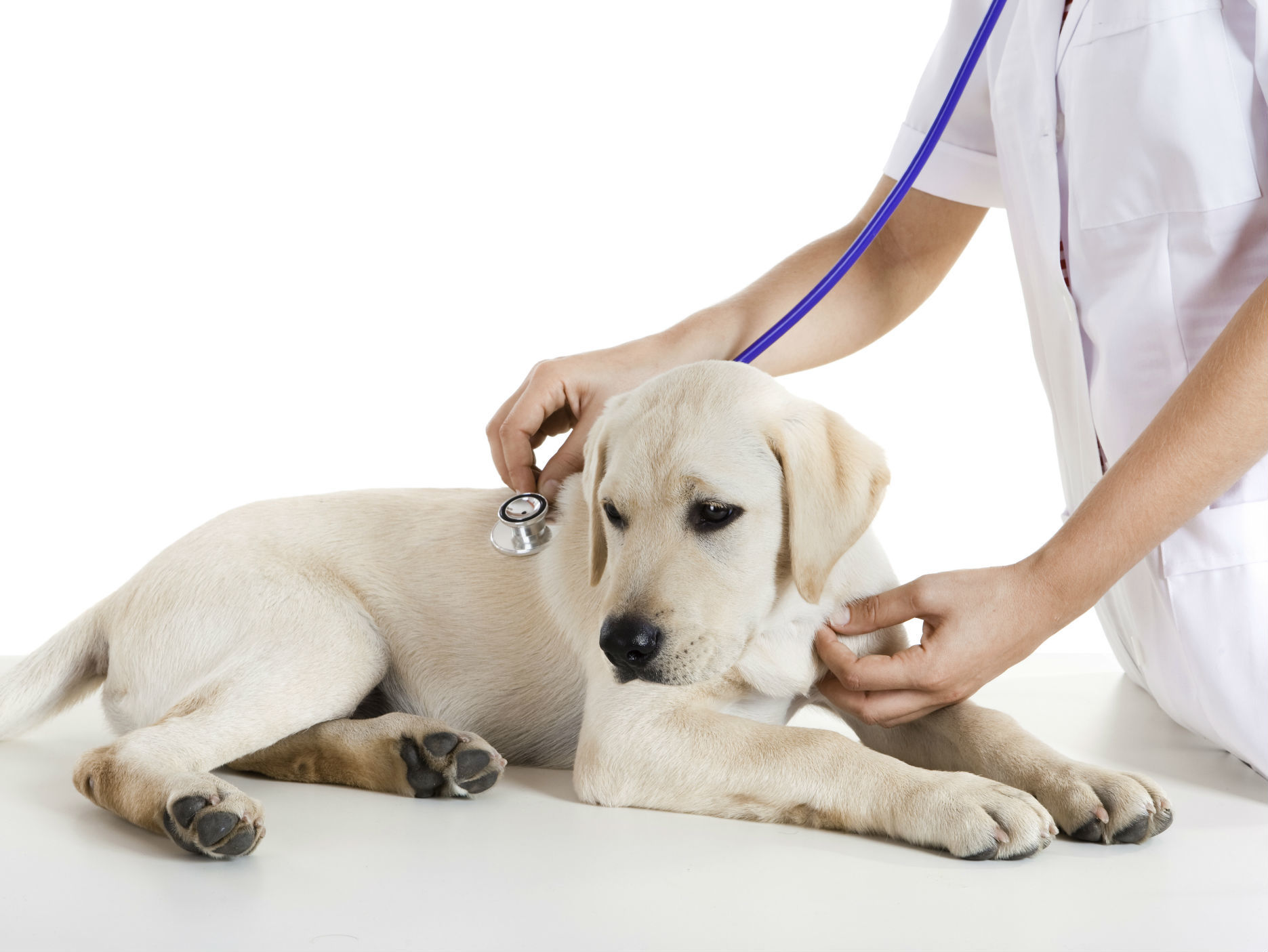 Perro revisado por veterinario