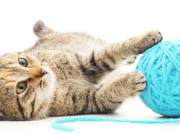Un gato siempre amará jugar con estambre