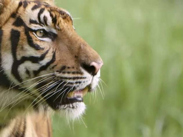 'Sumatra's Last Tigers'
