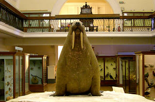 101 Things To Do in London: Horniman Museum Walrus