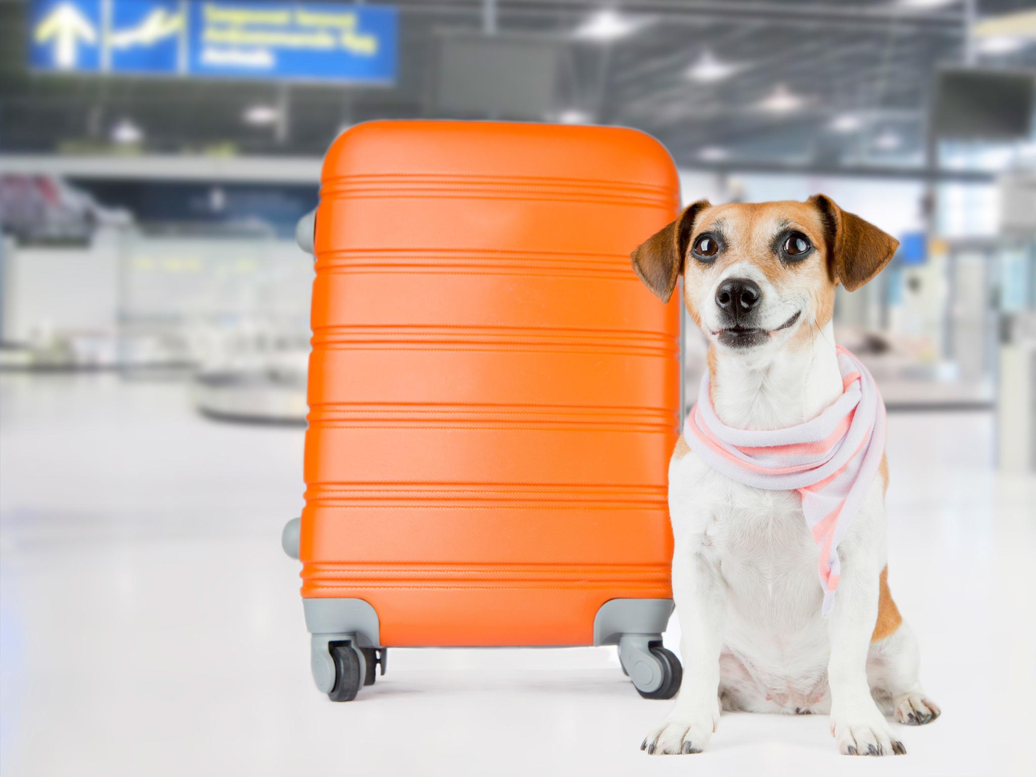 Mascota abordo es el programa de Volaris para volar con tu perro a bordo