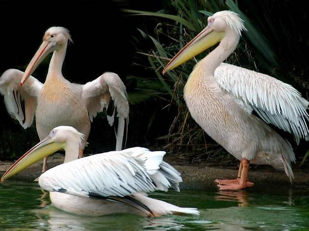 See the pelicans in St James's Park