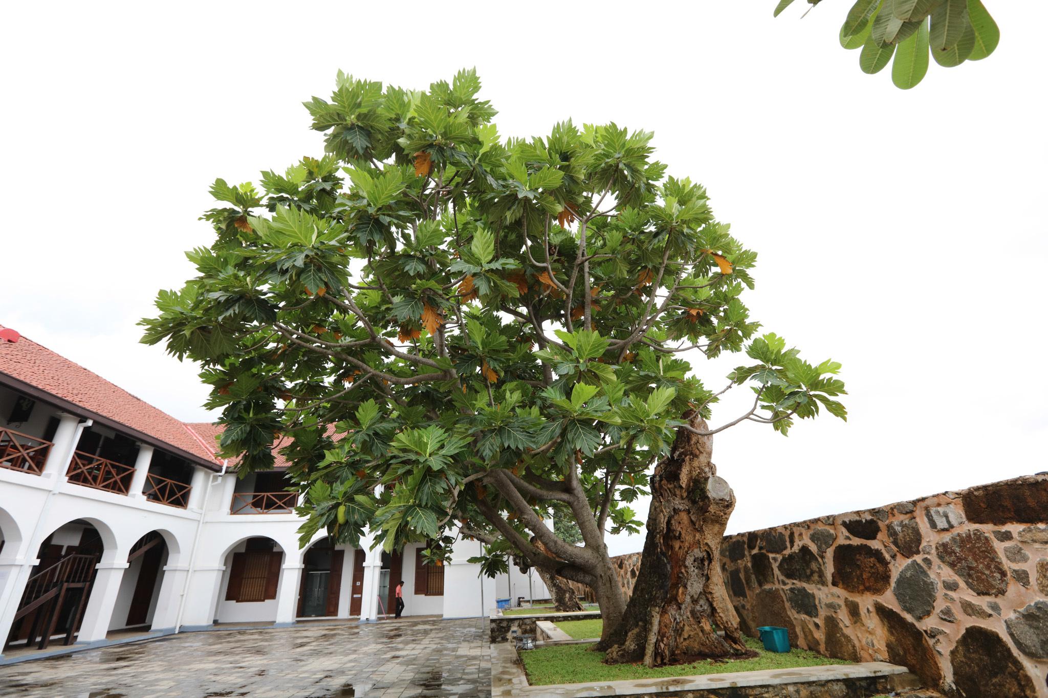 Find the breadfruit tree