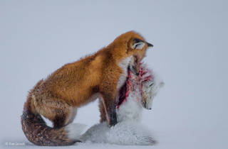 (Don Gutoski: 'Tale of Two Foxes'. Winner of Wildlife Photographer of the Year 2015. © Don Gutoski )