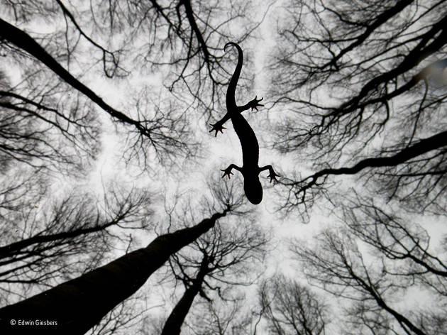 (©Edwin Giesbers)