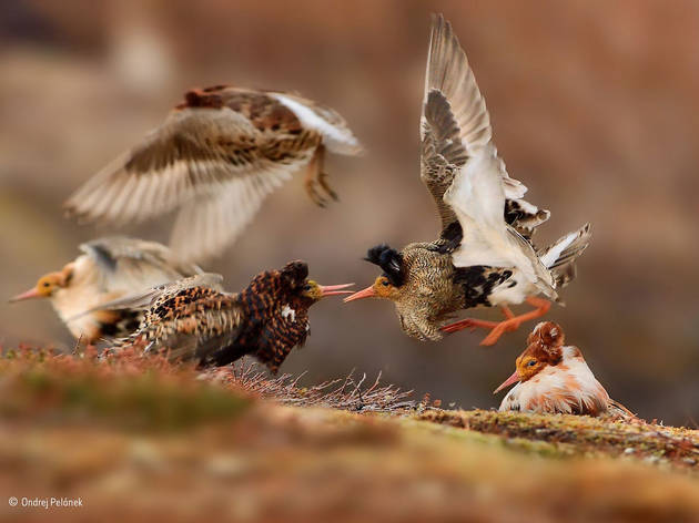 (Ondrej Pelánek: 'Fighting Ruffs'. Winner Young Wildlife Photographer of the Year 2015. © Ondrej Pelánek )