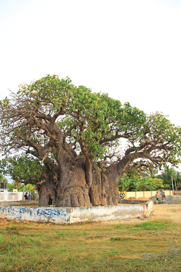 The old Baobab tree