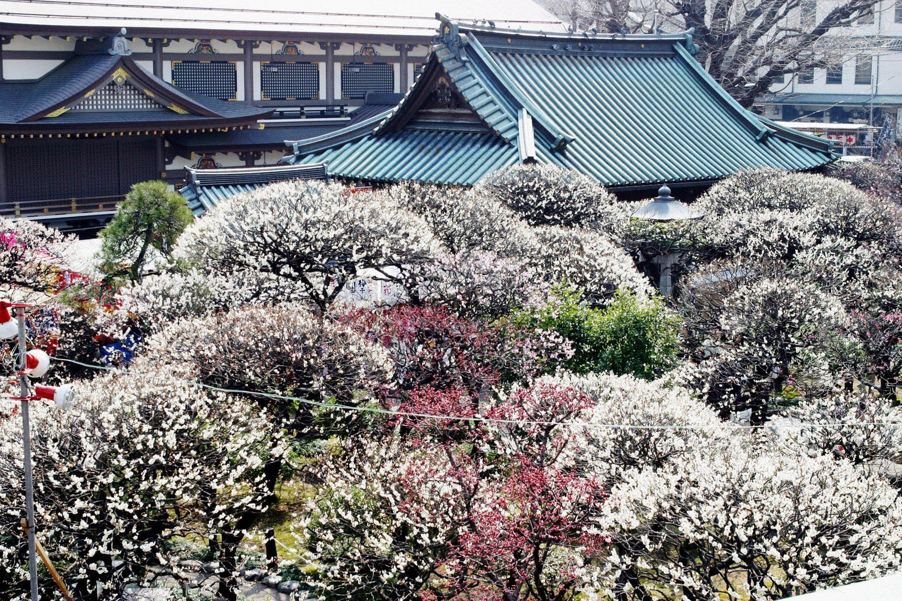 Best spots to see plum blossoms in and around Tokyo