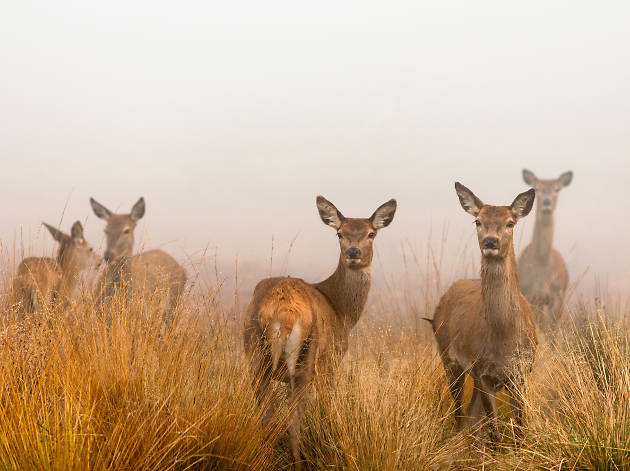 Red deer in the mist at Richmond Park, London.