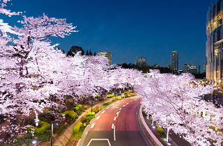 Cherry blossoms at Tokyo Midtown | Time Out Tokyo