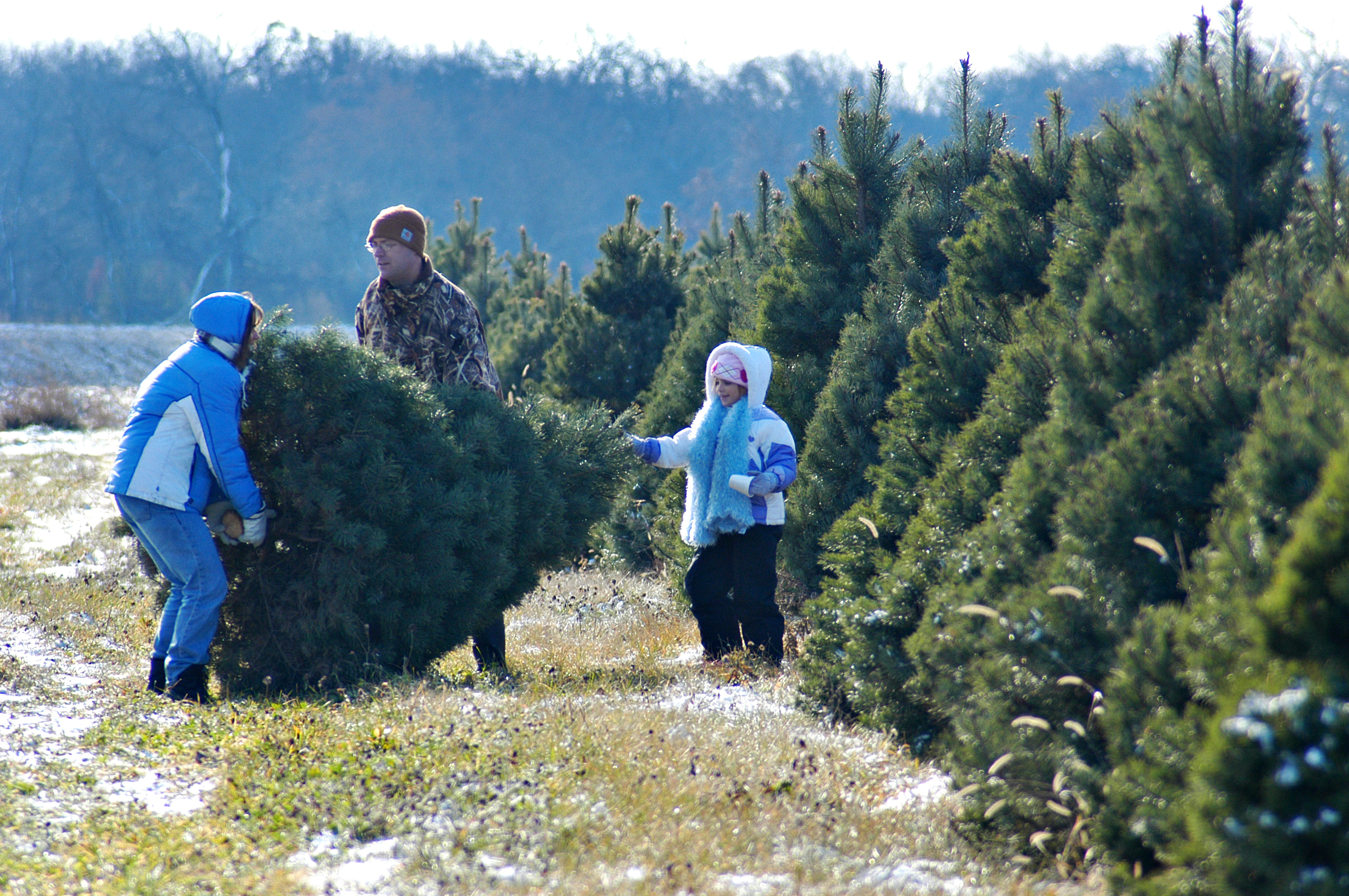 charming cut your own christmas tree near me part 3 richardson adventure farm - Christmas Tree Farm Near Me