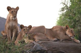 Leones en el documental de Kenia, en la Megapantala