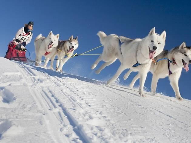 Dogsled racing Saignelégier