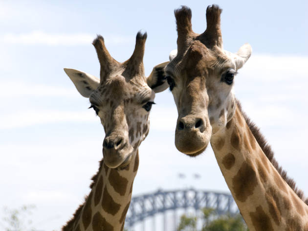 Two giraffes with the background of the Sydney Harbour Bridge