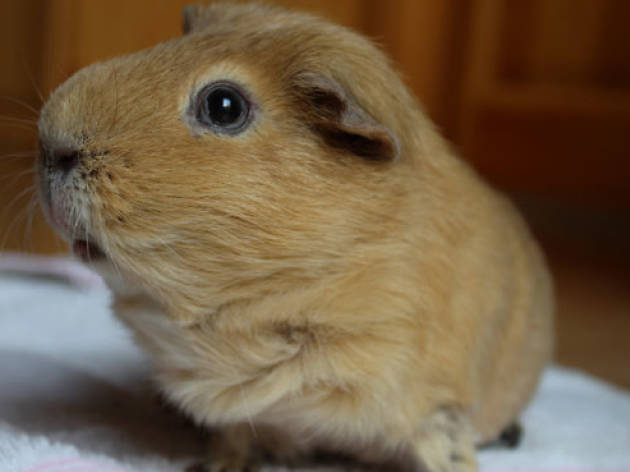 You're not allowed to have just one guinea pig