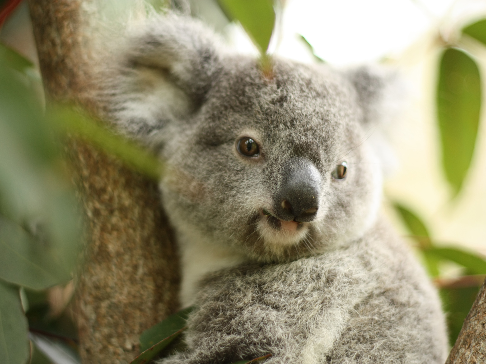 A close up shot of a baby koala in a tree