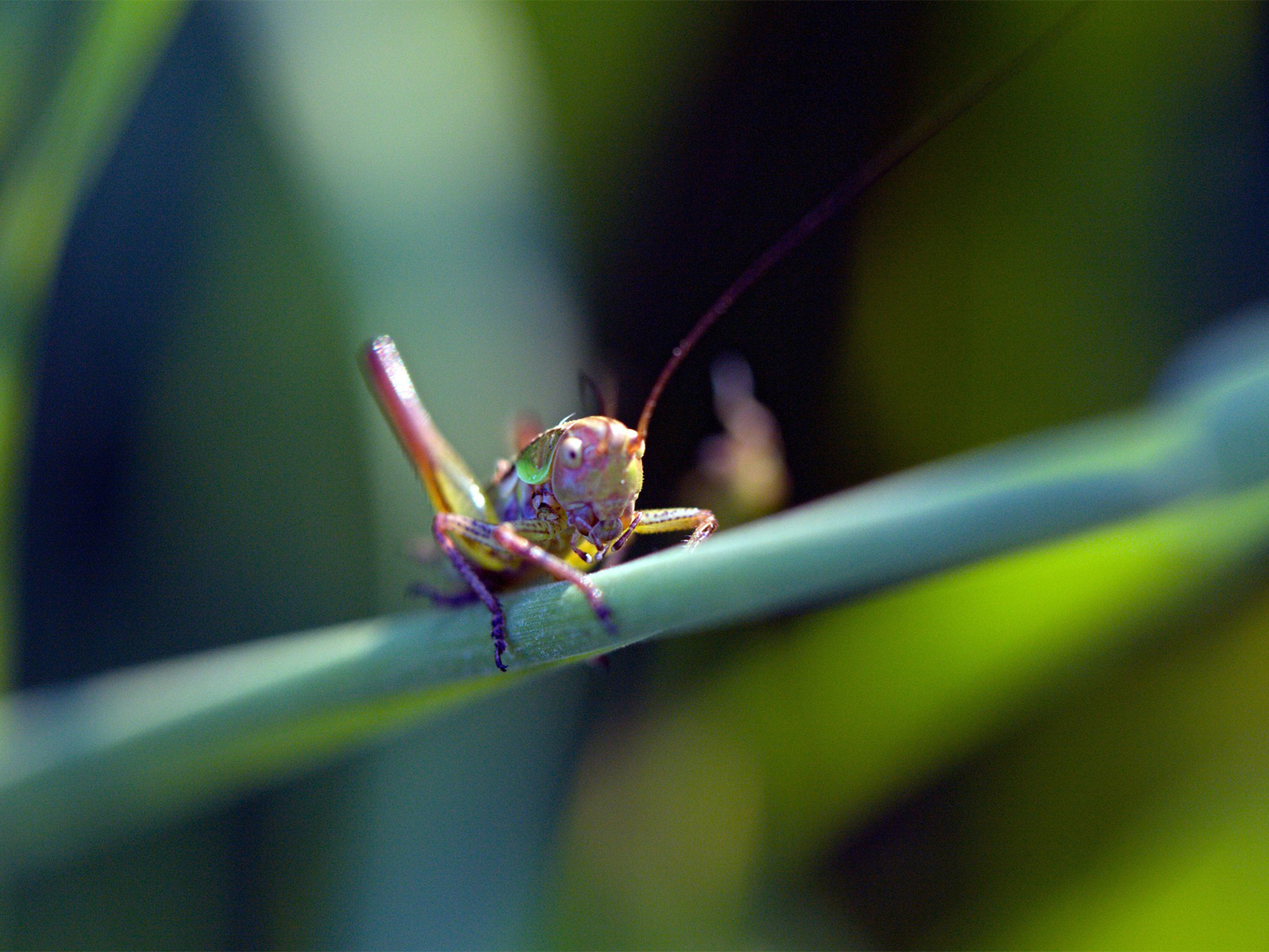 Grasshopper sits on a leaf
