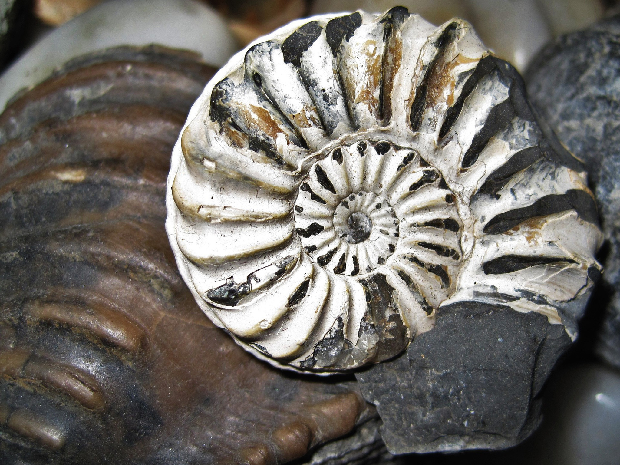 A shell-shaped fossil