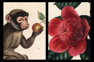 Botanical/Natural History Illustration Exhibition: Hybrid Camellias and Endangered Monkeys