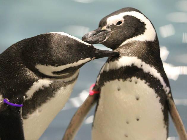 恋する水族館。Sweet Penguins