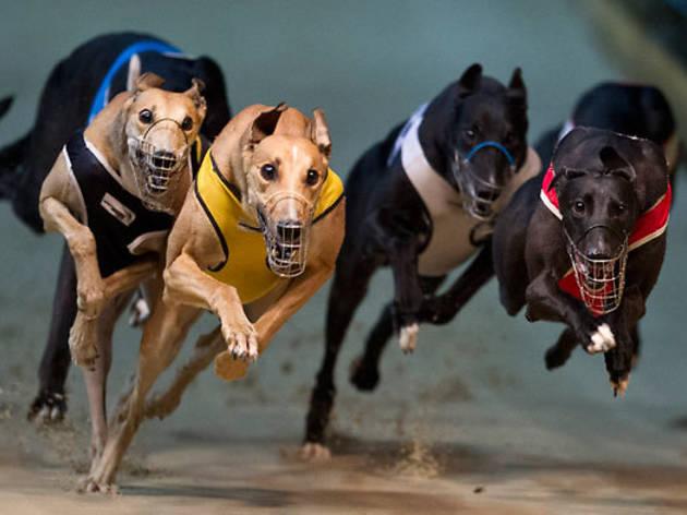 Wentworth Park Greyhounds