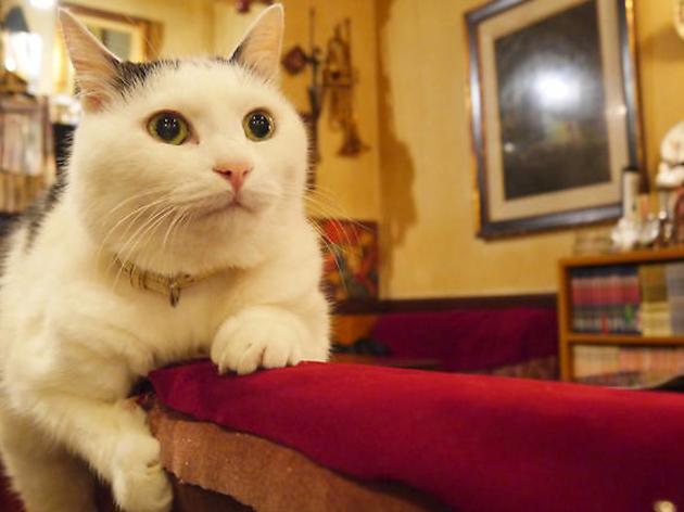白ブチの艶やかな毛並、ピンク色の肉球が見事な看板猫、ゴエモン