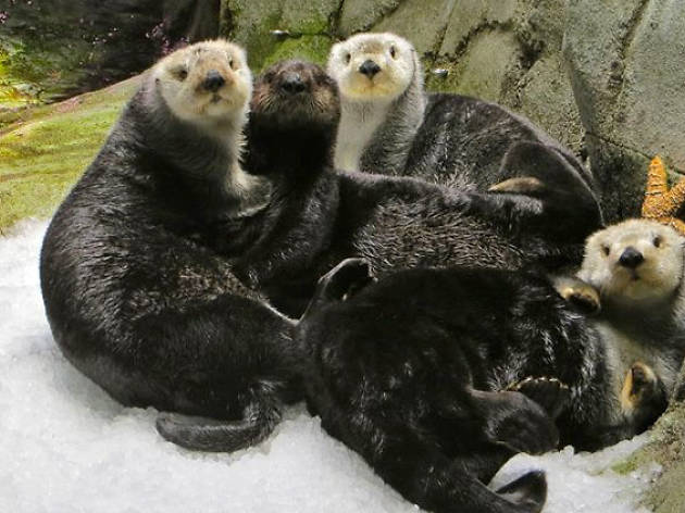 Sea otters at the Aquarium of the Pacific