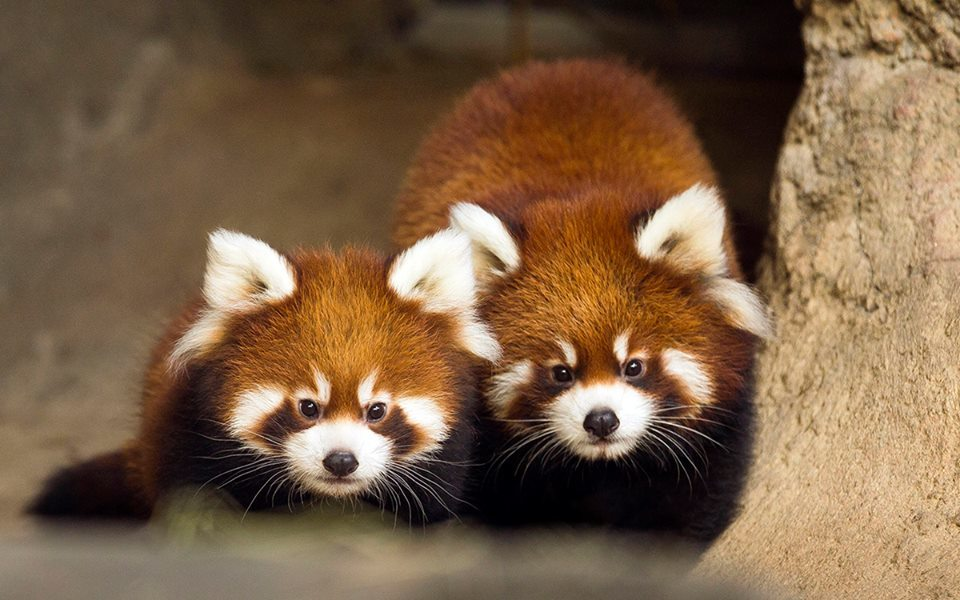 Two of Lincoln Park Zoo's red pandas are leaving Chicago forever