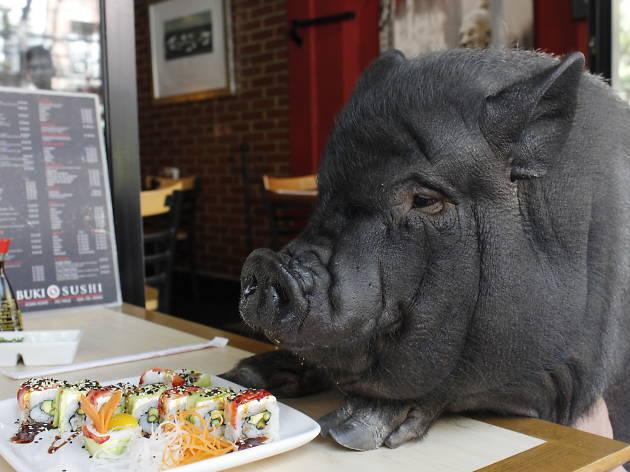 Recorrimos la ciudad de México con La Chata Pig, la cerda vietnamita más famosa de la colonia Roma