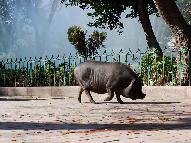 Recorrimos la Ciudad de México con La chata pig, el cerdo vietnamita más famoso de la colonia Roma