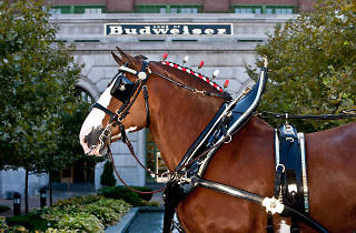 Budweiser Clydesdales at L.A. Live Fan Fests