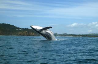 Humpback whale Cape Byron Kayaks