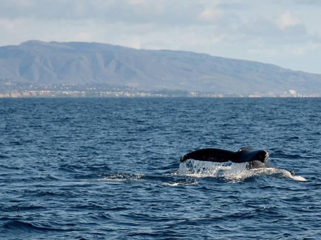 Catch a glimpse of whales in Newport Beach