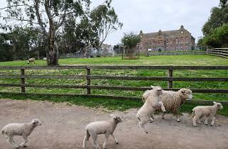 Baby lambs running in front of a grass lawn