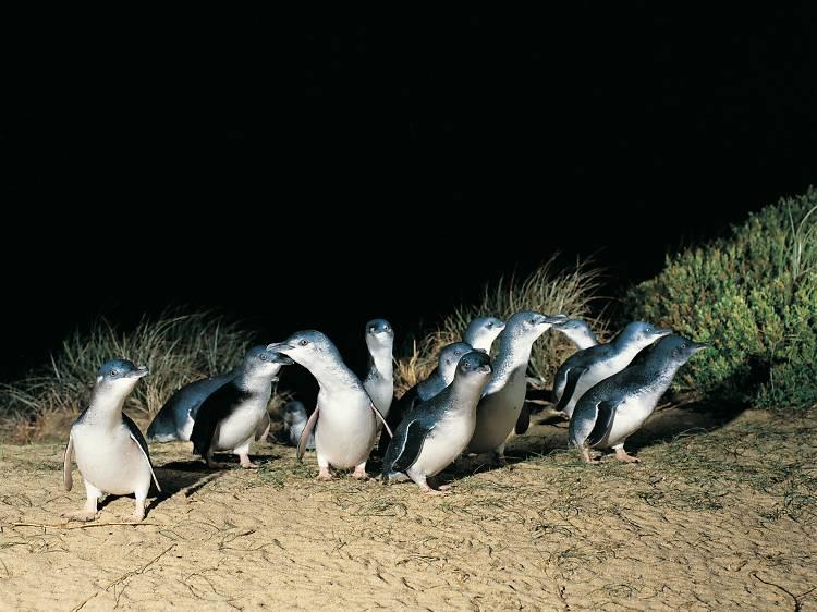 Go penguin spotting at Phillip Island