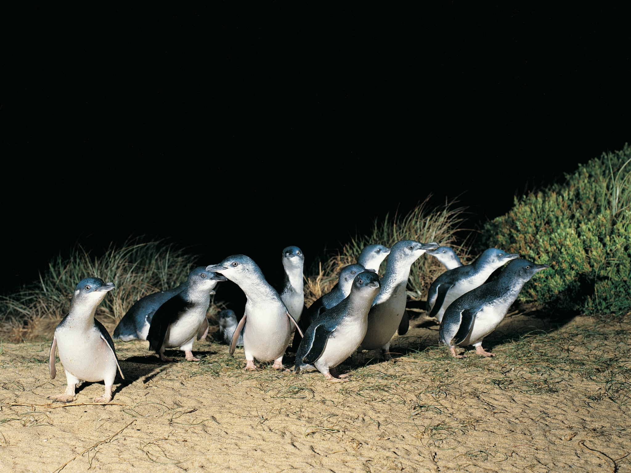 Little fairy penguins walk ashore at night at Phillip Island, Victoria