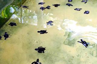 Sea Turtle Hatchery – Peraliya Telwattha