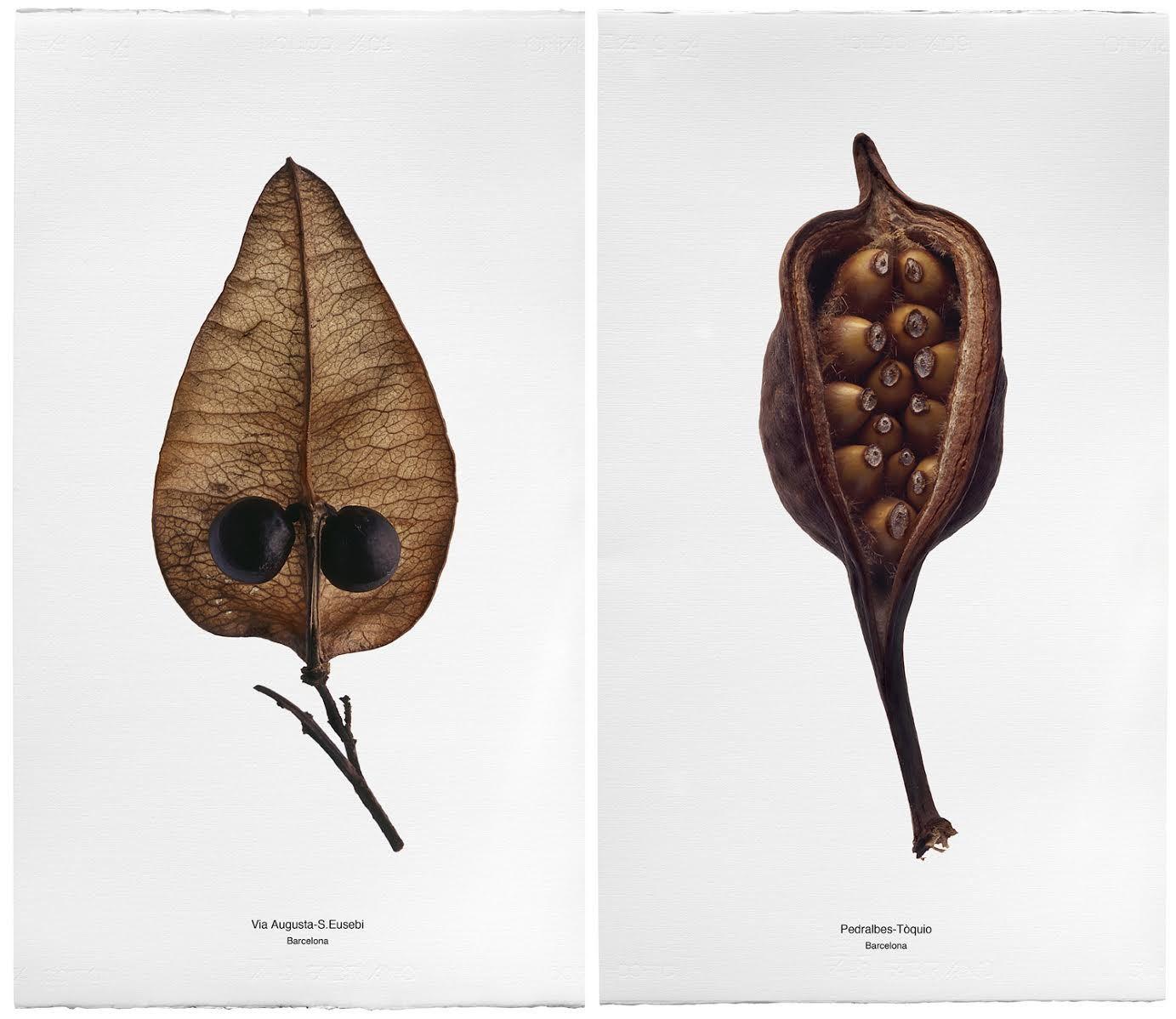 Faustí Llucià. Botànica Urbana